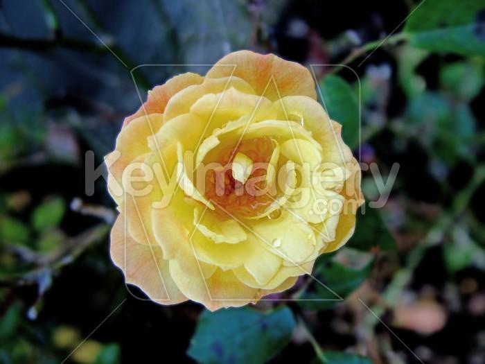 Miniture yellow rose Photo #1396