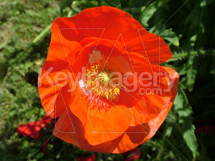 Orange poppy Photo #431