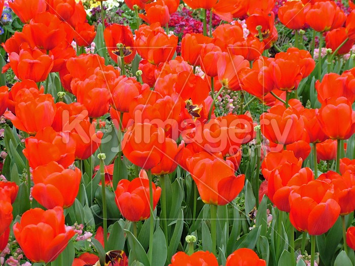 page full of tulips Photo #4337