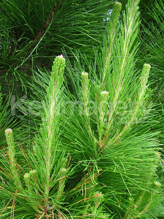 Pine tree branch Photo #4703