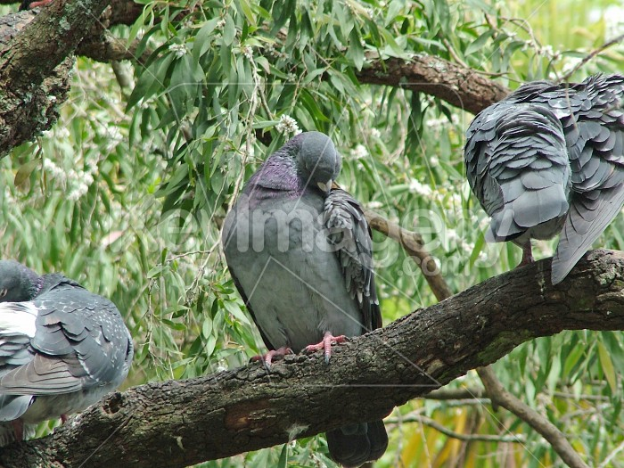 Preening pigeon Photo #4649