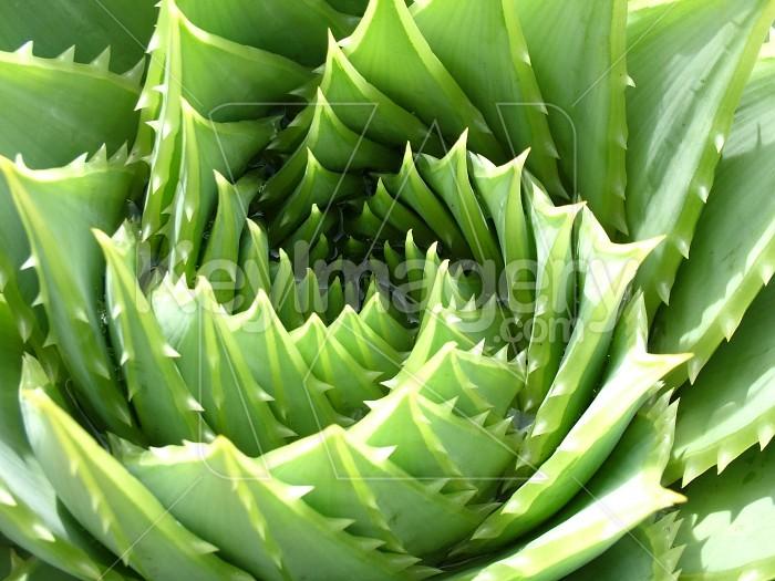 prickly aloe Photo #2222