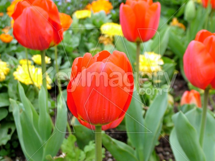 Red Tulips Photo #4267