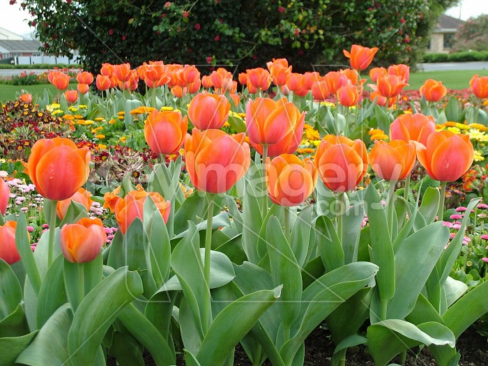 rows of red tulips Photo #4405