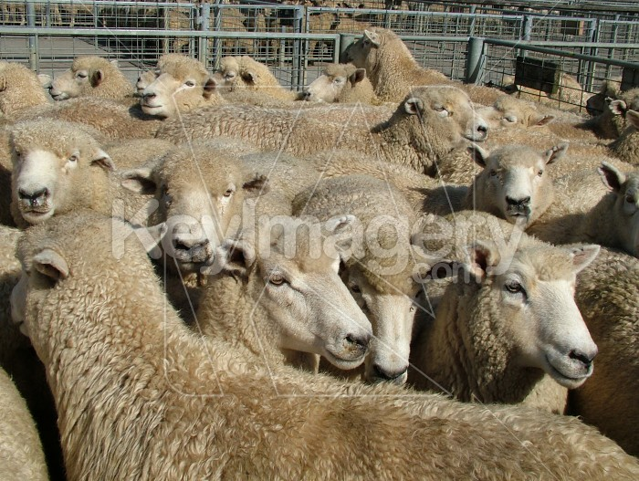 Sheep for sale Photo #868