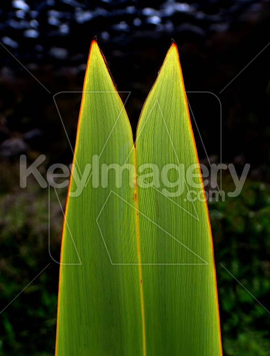splitting flax leaf Photo #2295