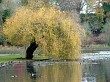 weeping willow over lake