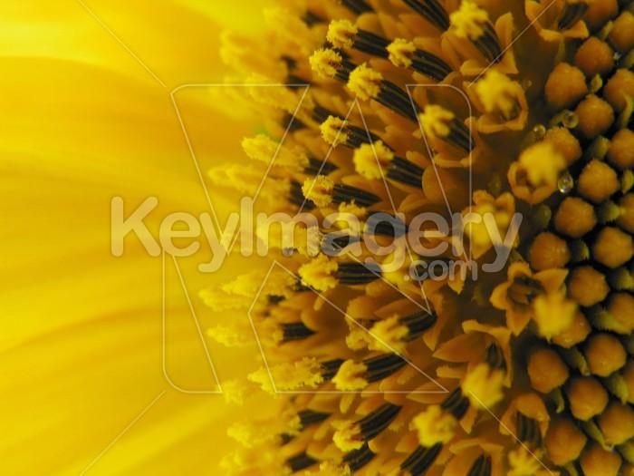 Sunflower stamen Photo #7005
