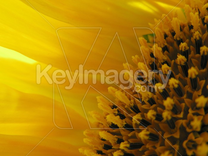 The edge and the petals of a sunflower Photo #7009
