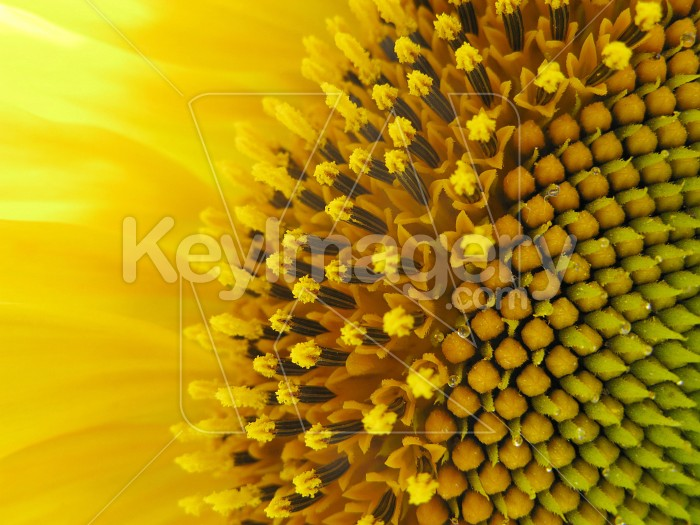 The edge of the sunflower Photo #7017