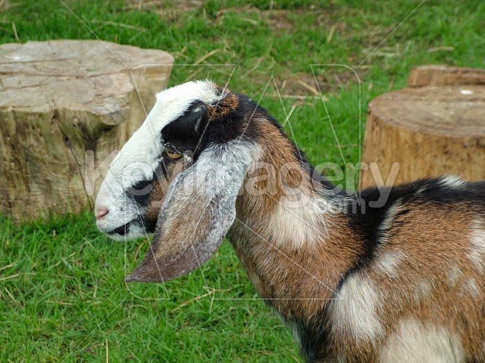 the goat 3 Photo #4537