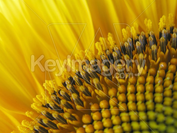 The levels of a sunflower Photo #6992