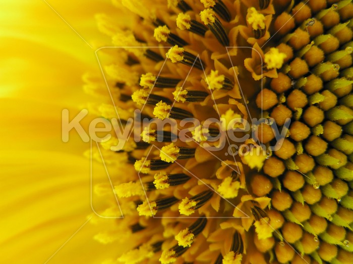 The stamen on the sunflower Photo #6982