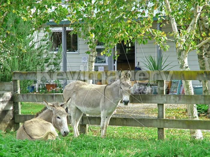 Two donkeys Photo #716