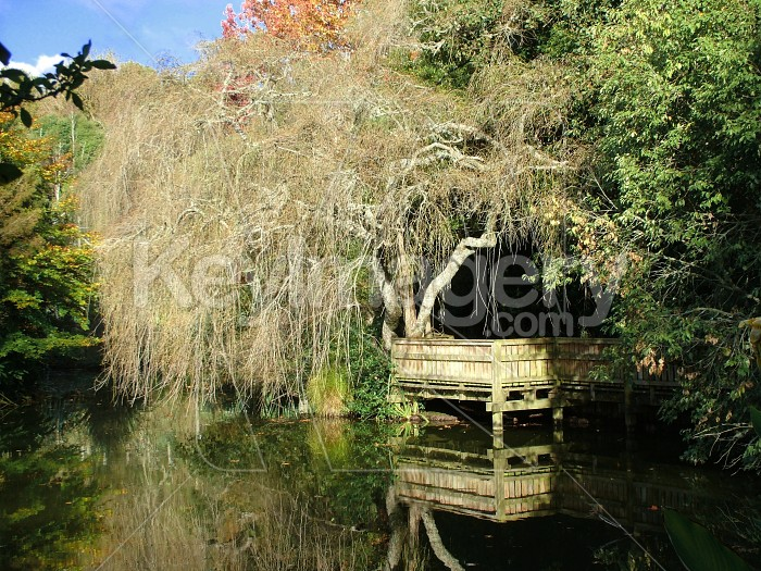 weeping willow in autumn Photo #2229