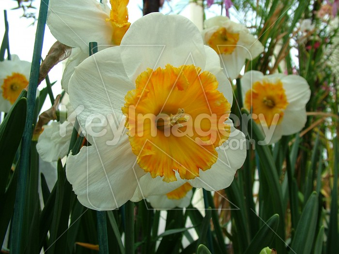 White daffodil with yellow middle Photo #4672