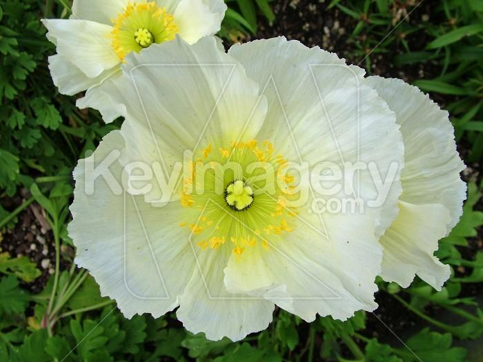 white poppies Photo #4274