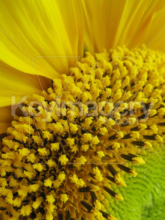 Wide edge of the sunflower 2 Photo #7024