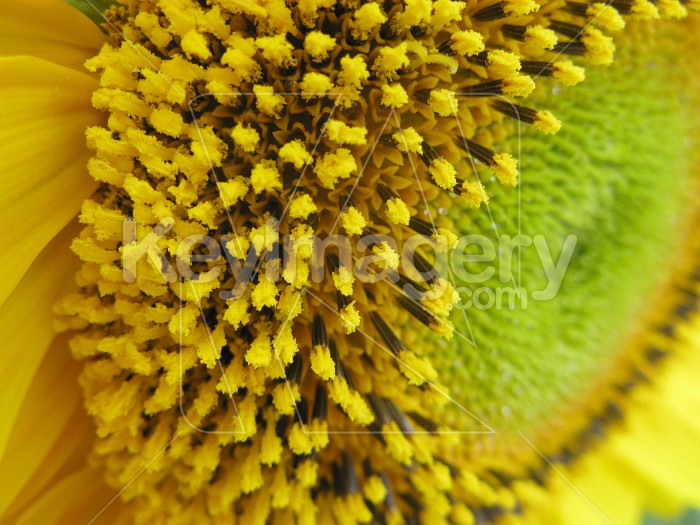Wide edge of the sunflower Photo #6984