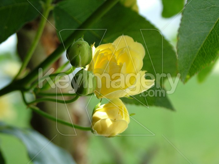 Yellow rose bud Photo #413