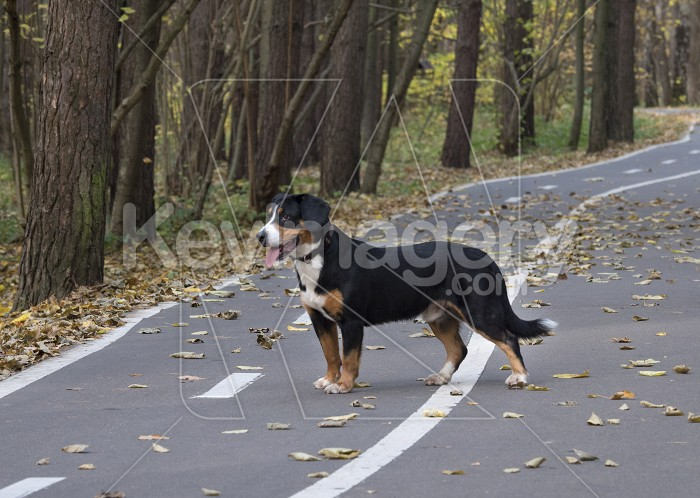 Dog on the road in the Autumn Forest Photo #59256