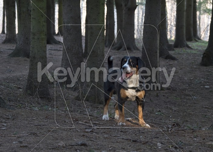 Dog standing in the spruce forest Photo #61566