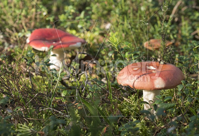 Mushrooms growing in the autumn forest on a sunny day. Photo #62264