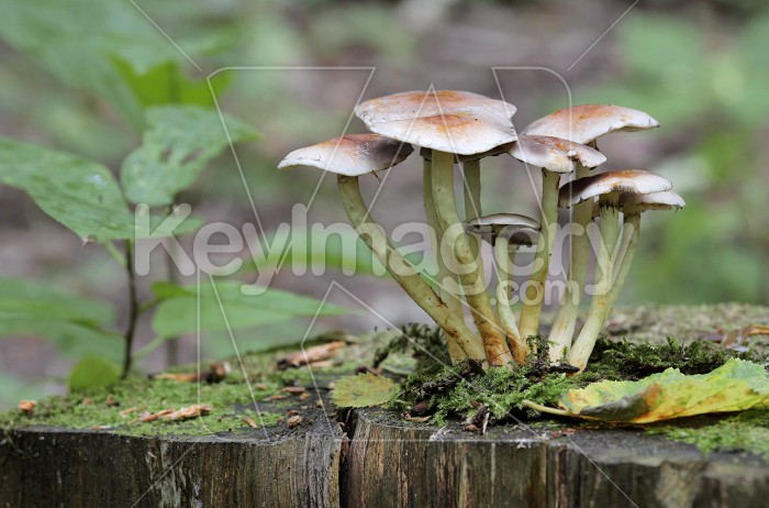 Mushrooms growing on a tree stump in the autumn forest. Photo #62252