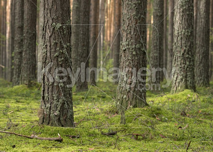 Pine forest in the sunny summer day. Photo #62259