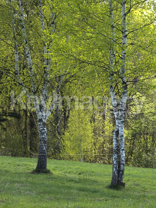 Spring Birch Grove in a Sunny Day Photo #61730