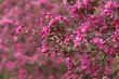 Blooming Apple Trees 01