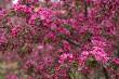 Blooming Apple Trees 02