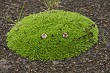 tussock with green grass growing on volcanic lava