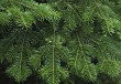 Fir tree branch background close up
