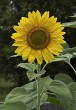 Beautiful Sunflowers blooming in the garden.