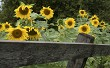 Sunflowers in the garden with wooden fence.