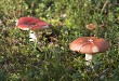 Mushrooms growing in the autumn forest on a sunny day.