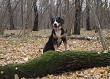Happy dog walks in the shady autumn forest.