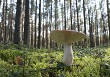 Edible mushroom in the forest on a sunny day.