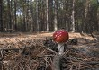 Red fly agaric mushroom in the forest on a sunny autumn day.