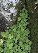 Wood Sorrel growing in the forest in summer.