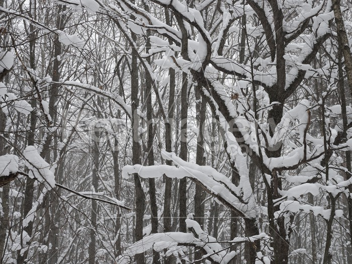 Winter forest, trees covered with fresh snow after snow falling. Photo #61569