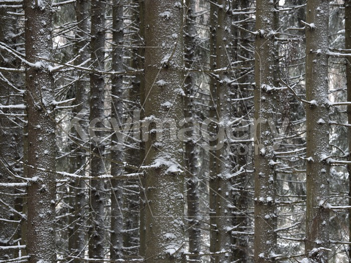 Winter pine forest covered with fresh snow. Photo #61570