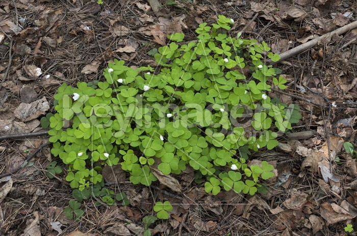 Wood Sorrel growing in the forest in spring time. Photo #61728