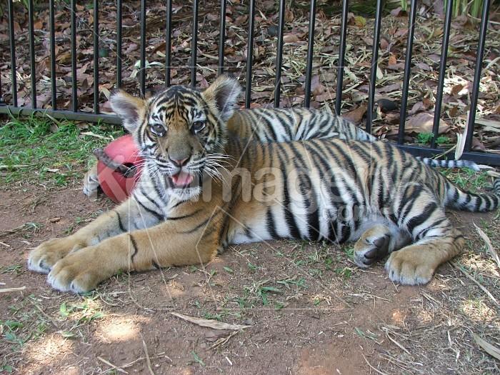 Tiger Cub Photo #4980