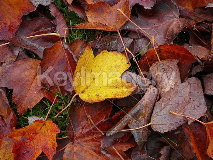Autumn leaves close up Photo #1445
