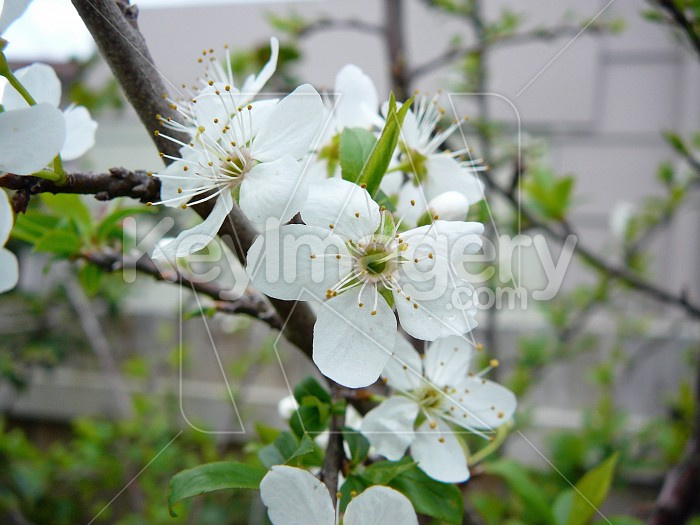blossom 2 Photo #4229