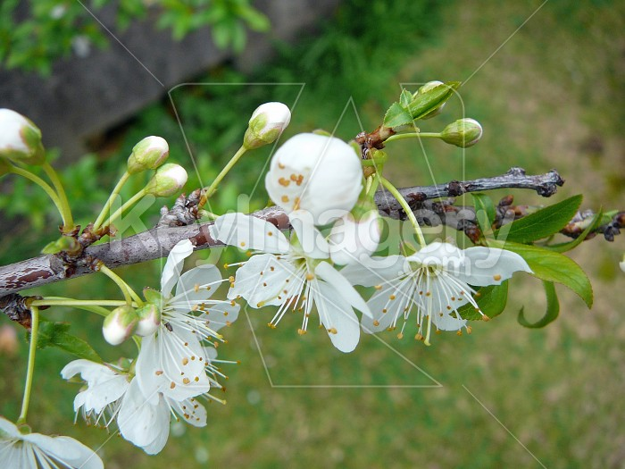 blossom 3 Photo #4230