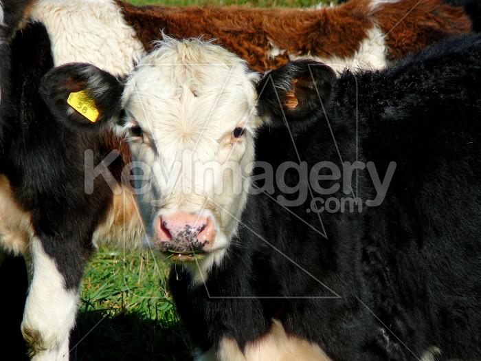 calf 58 Photo #1536