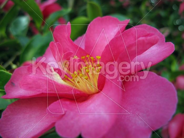 Camellia close up Photo #12548